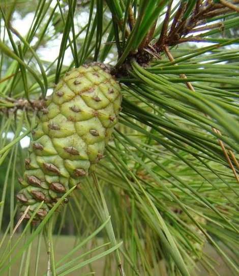 Shortleaf pine tree with immature cones. Photo by Frank Bonner, courtesy of Bugwood.org.