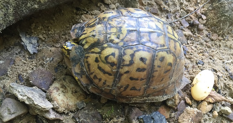 Streamside, an eastern box turtle with egg. Photo by Anna Walker.