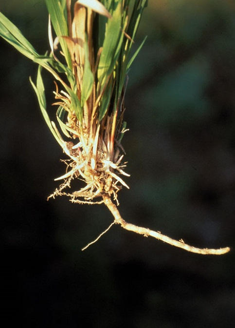 Cogongrass rhizome. Photo by Jim Miller, courtesy of Bugwood.org.
