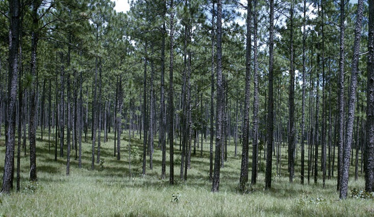 Natural longleaf pine stand in Alabama. Photo by William Boyer, U.S. Forest Service.