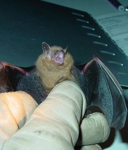 A tri-colored bat, an eastern North American bat species heavily impacted by white-nose syndrome. Photo by Roger Perry, U.S. Forest Service.