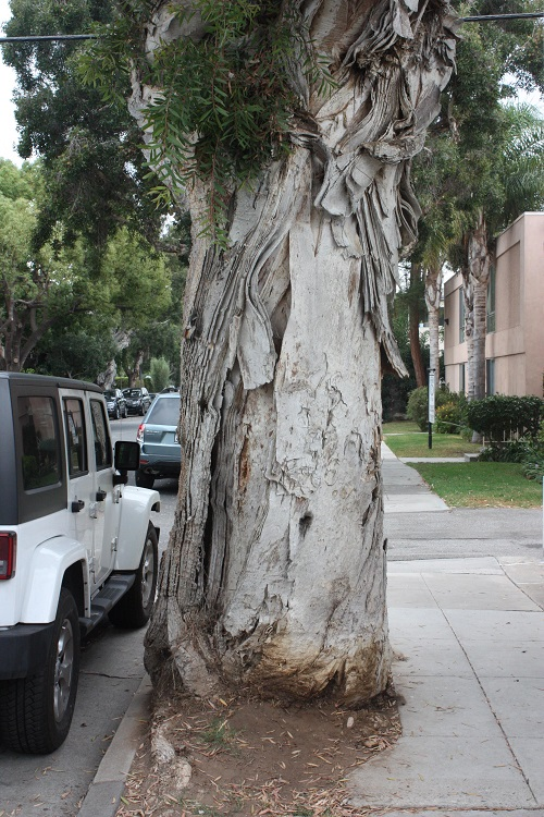 Knowing the maximum size of a tree can help a planner or manager avoid future conflicts between roots and sidewalks or branches and power lines. Photo courtesy of U.S. Forest Service.