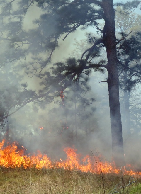 A prescribed fire burns in a southern forest. In a case study of a South Carolina watershed, researchers found no apparent change in annual water yield that could be attributed to fire following low severity prescribed burning. Photo by Dennis Hallema, U.S. Forest Service.