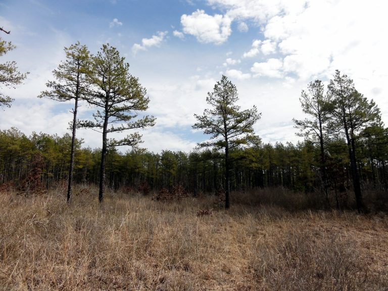 Shortleaf pine trees