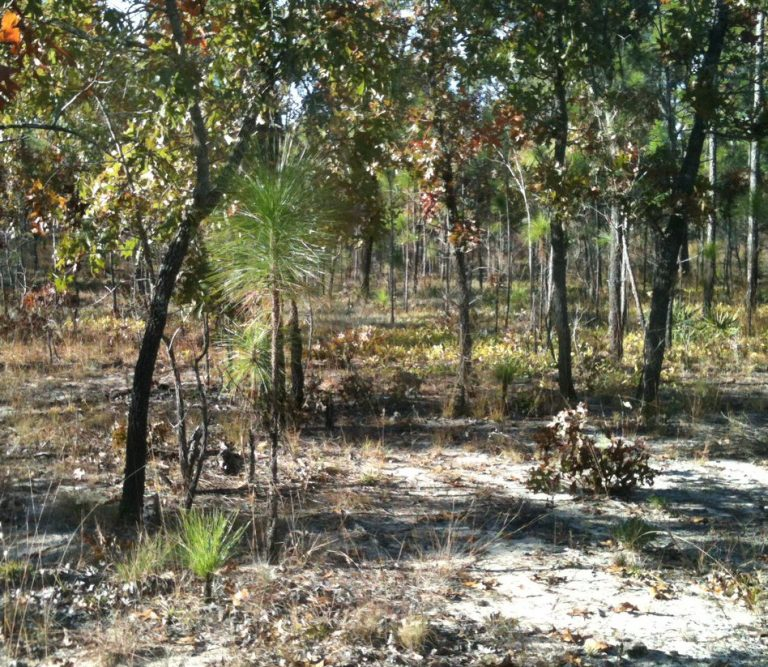 The shade that midstory oaks provide can alleviate water stress and facilitate longleaf pine seedling survival. Photo by Louise Loudermilk, USFS.