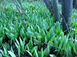 ramps in spring