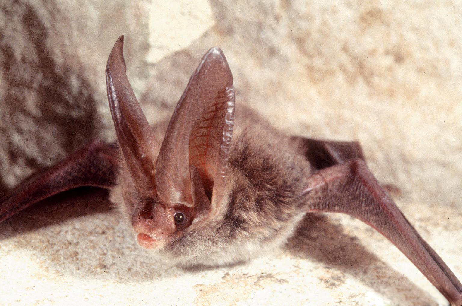 Bats Adapt To Disturbed Habitat Compasslive