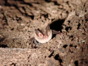 rafinesque-big-eared-bat-in-roost