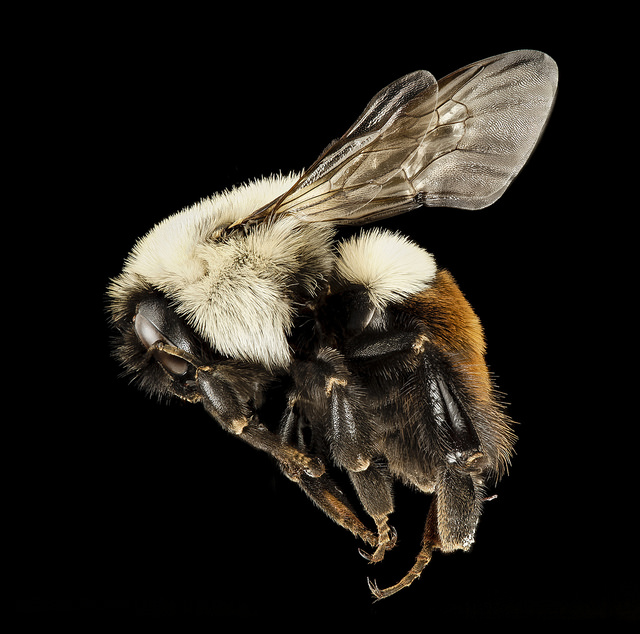 The common Eastern bumblebee is one of 46 native bumblebee species in the U.S. Photo by Sam Droege, USGS.