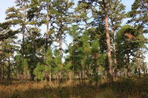 Young longleaf pine trees grow in the understory