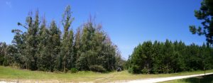 eucalyptus-loblolly-stands