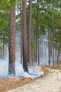 longleaf pine and fire