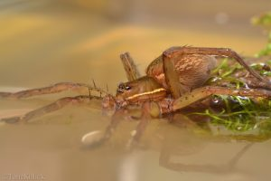 aquatic spider