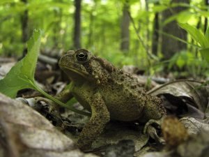 Reptiles and Amphibians Unharmed by Prescribed Fires in Early Growing Season