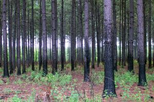 The study identifies opportunity zones for woody bioenergy crops. Photo by David Stephens, courtesy of Bugwood.org.