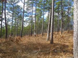 shortleaf-pine-woodland