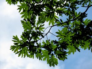 white-oak-leaves