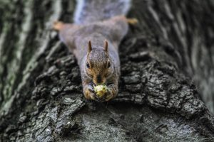 squirrel-acorn