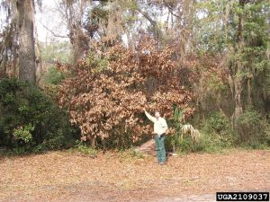 Redbay killed by laurel wilt disease