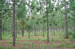Rows of longleaf pine trees grow in a seed orchard