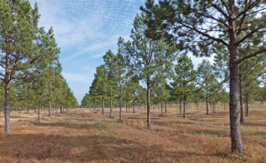 Orderly rows of shortleaf pine trees under a blue sky