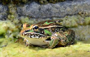 southern-leopard-frog