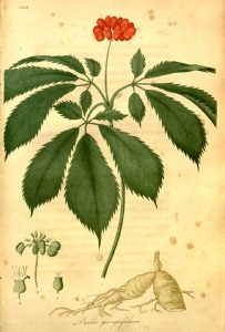 A historical botanical illustration of a ginseng plant