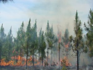 Young longleaf pine trees are surrounded by fire, but it is burning at a low intensity and appears to be burning their trunks and the groundlayer below them