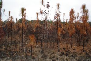 A stand of young longleaf pine saplings has been burned by a prescribed fire and all their foliage is scorched. If this fire was conducted late in the growing season, it would be harder for these saplings to recover