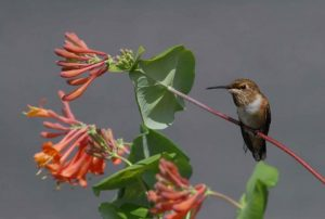 clusters of tubular pink flowers with a hummingbird sitting nearby