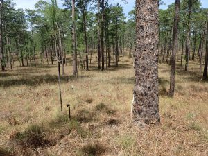 A stand of widely spaced longleaf pine trees