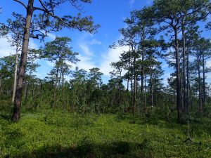 A longleaf pine forest with widely spaced trees