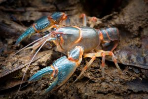 crayfish has blue pincers with orange bands, long antenna, bulging eyes, and fluorescent orange bands on its back, tail, and legs
