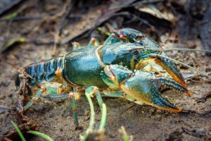 a blue crayfish with yellow legs and yellow bands on its pincers, head, and tail.