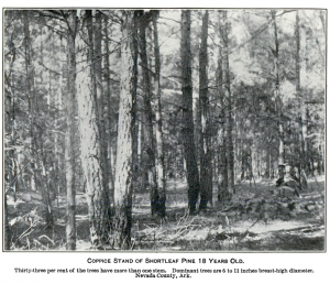 historic photo of shortleaf pine trees, many of them with a double trunk