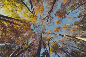 looking up at trees with yellow leaves