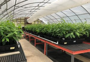 chestnut seedlings in a greenhouse