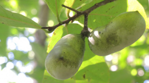 cluster of pawpaw fruits hanging from a tree branch