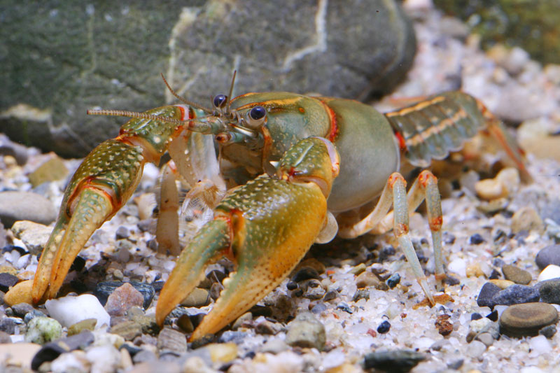 /crayfish/photos/PID00049_hr.jpg