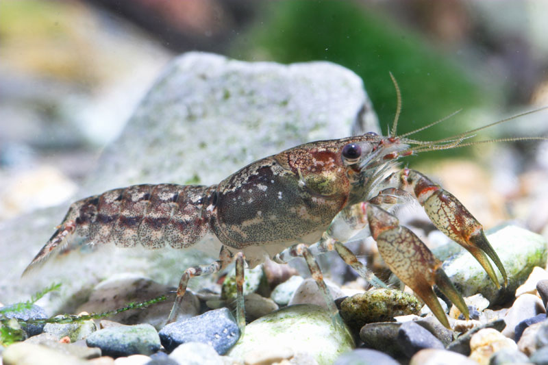 /crayfish/photos/PID00054_hr.jpg