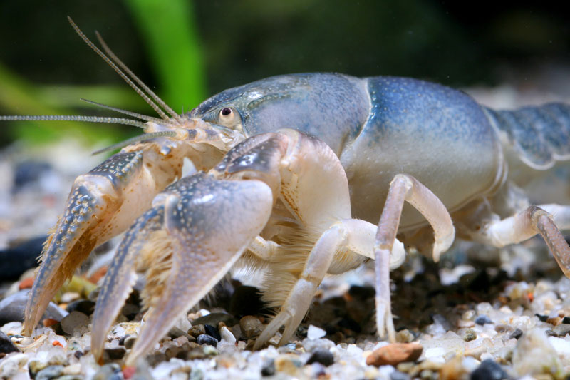 /crayfish/photos/PID00059_hr.jpg