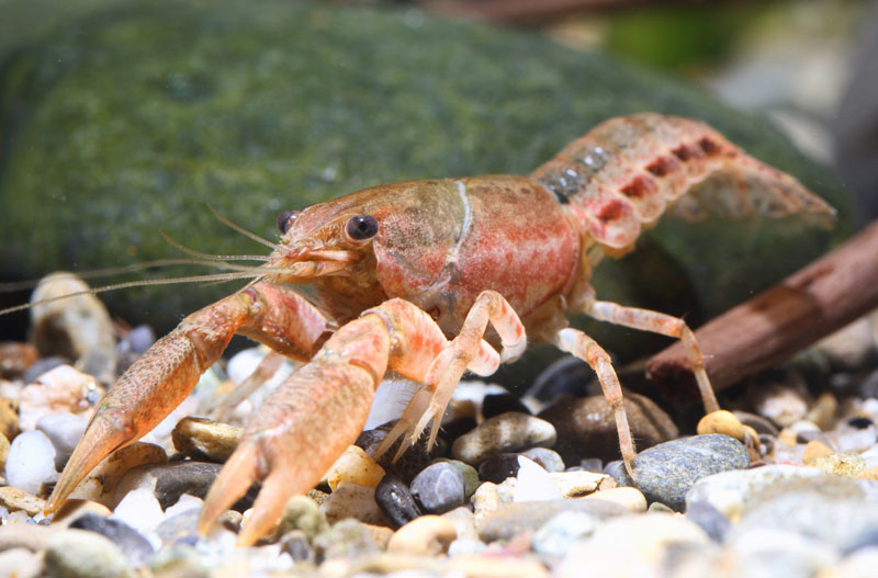 /crayfish/photos/PID00063_hr.jpg