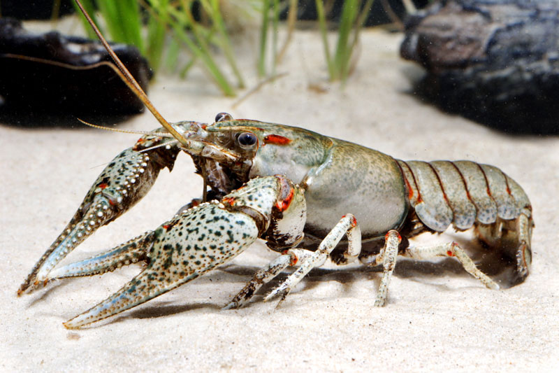 /crayfish/photos/PID00080_hr.jpg