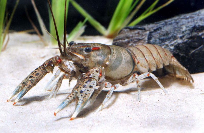 /crayfish/photos/PID00081_hr.jpg