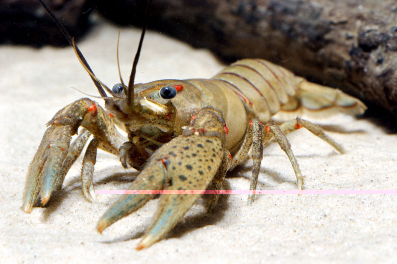 /crayfish/photos/PID00083_hr.jpg