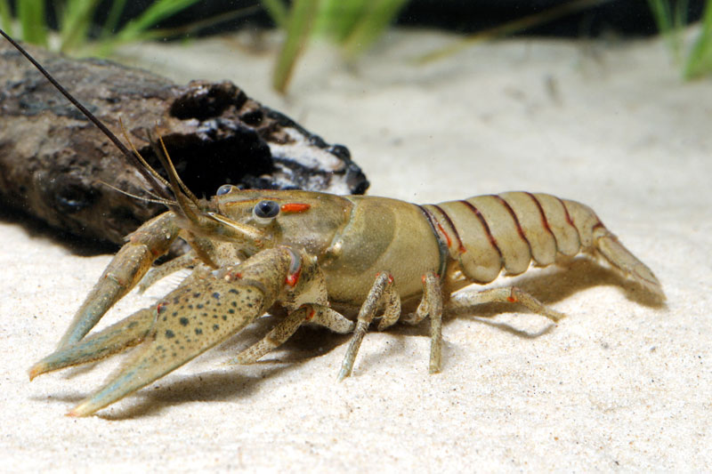 /crayfish/photos/PID00084_hr.jpg