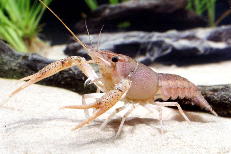 /crayfish/photos/PID00090_hr.jpg