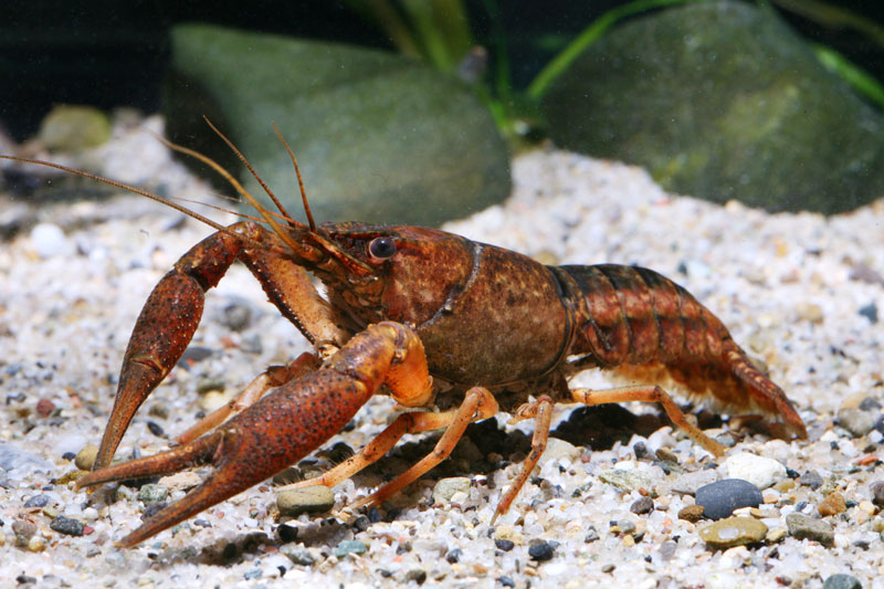 /crayfish/photos/PID00092_hr.jpg
