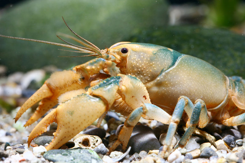 /crayfish/photos/PID00093_hr.jpg