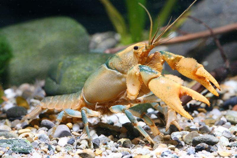 /crayfish/photos/PID00094_hr.jpg